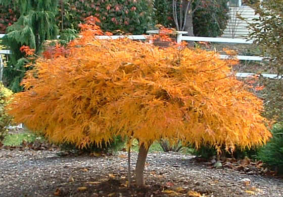 Fall Color, 'Waterfall' Weeping Japanese Maple