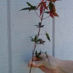 Japanese Maples: Learn The Varieties